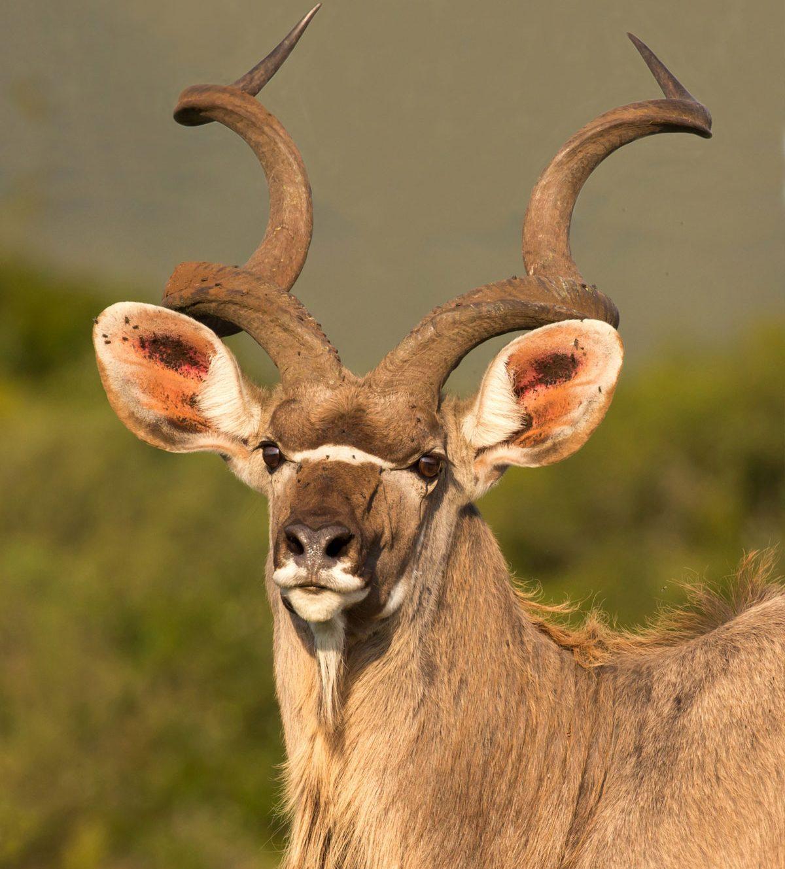 koudou-voyage-de-chasse